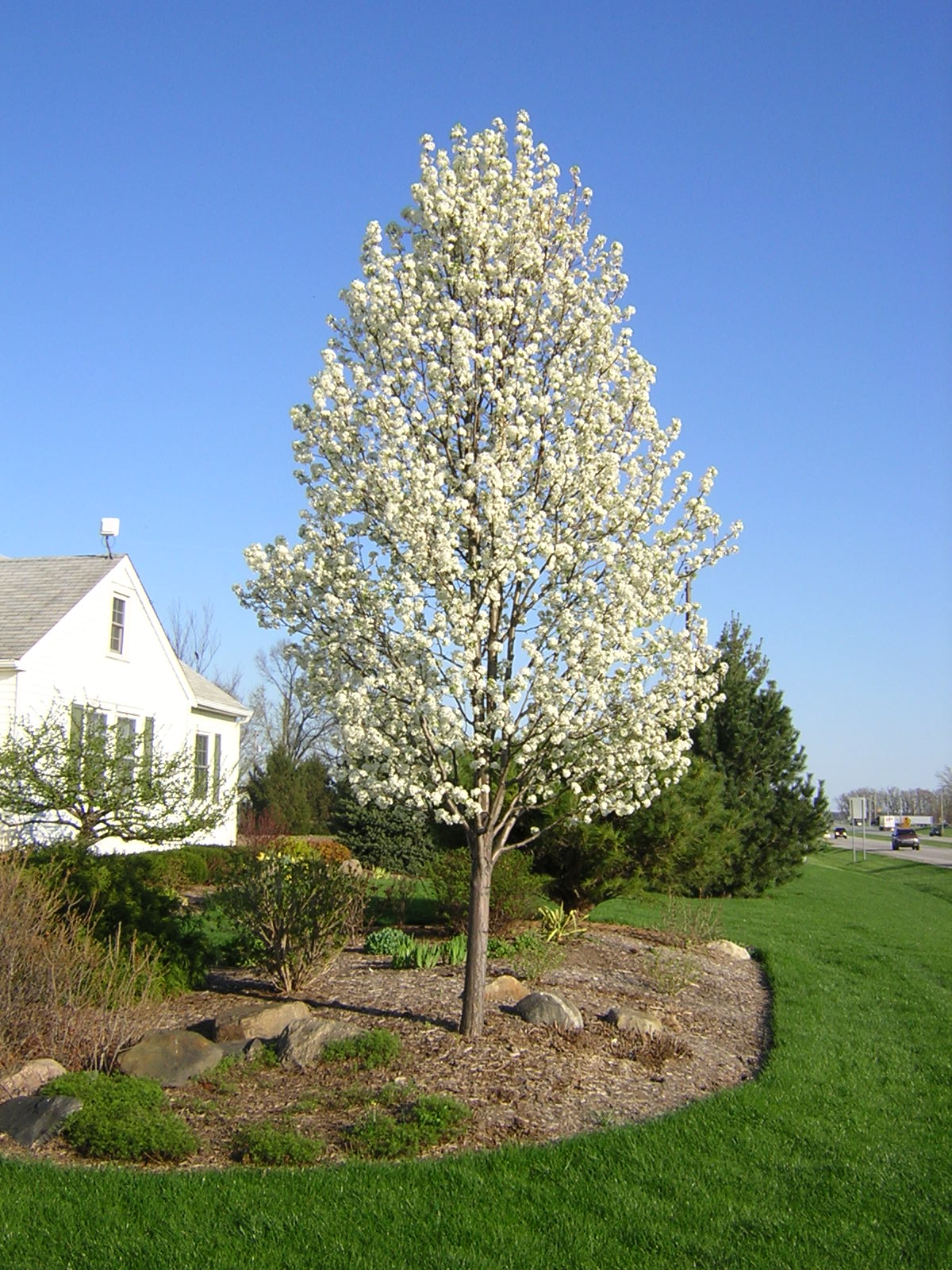 White Pear Tree Image Home Garden And Tree Rtecx